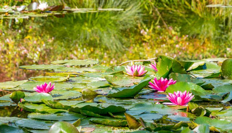 Lirios de agua en el jardín de Claude Monet