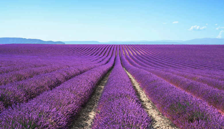 Discover the Lavender fields of Provence
