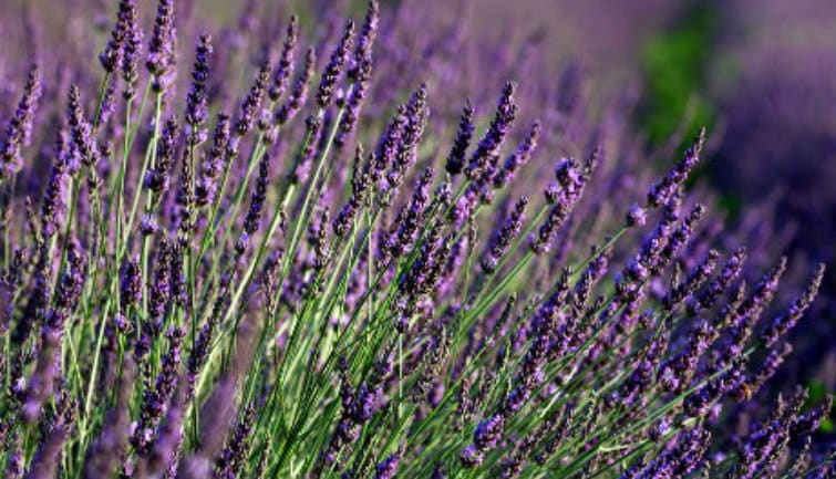 Lavender Full-Day Tour Valensole - from Aix-en-Provence